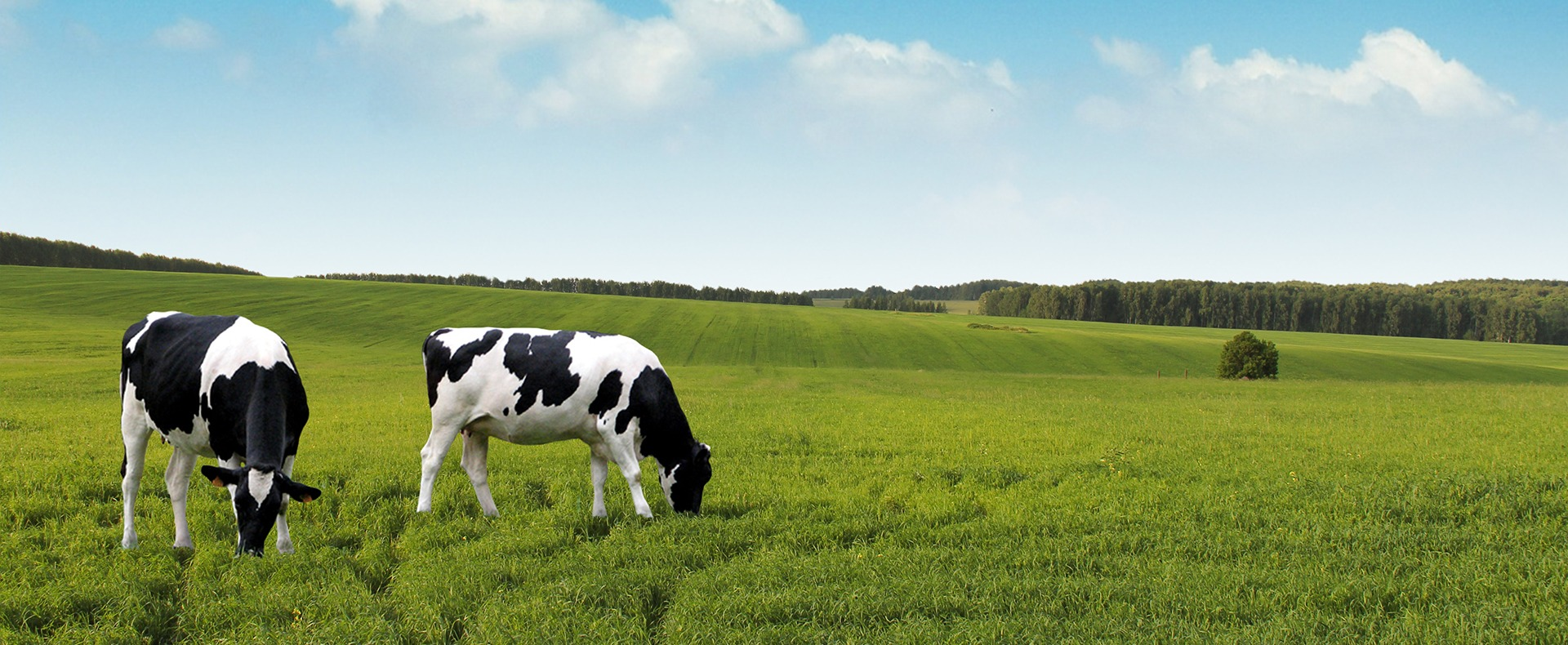 Two cows grazing in a meadow